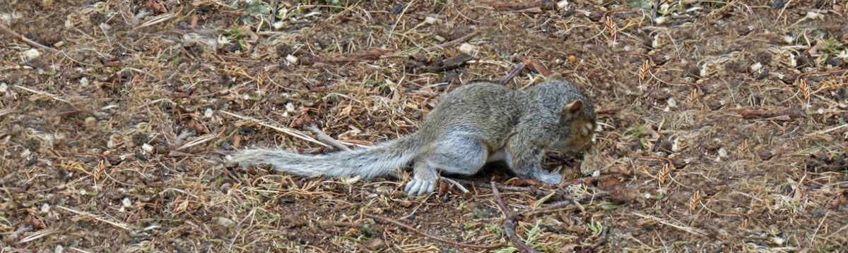 A baby gray squirrel is on the ground after falling from its nest in a nearby tree.