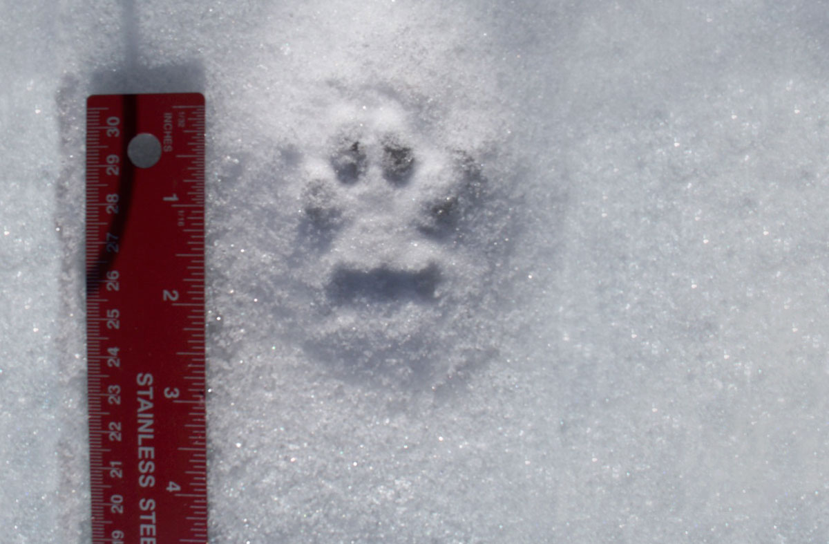 Bobcat tracks in the snow near a ruler to show the track is about two inches long and about an inch and a half wide.