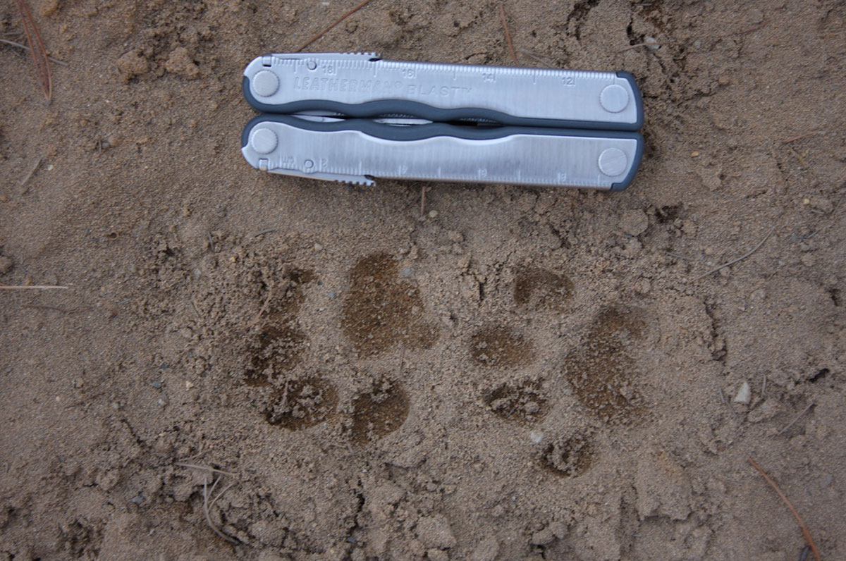 Two bobcat tracks in sandy soil, next to a multitool for scale.