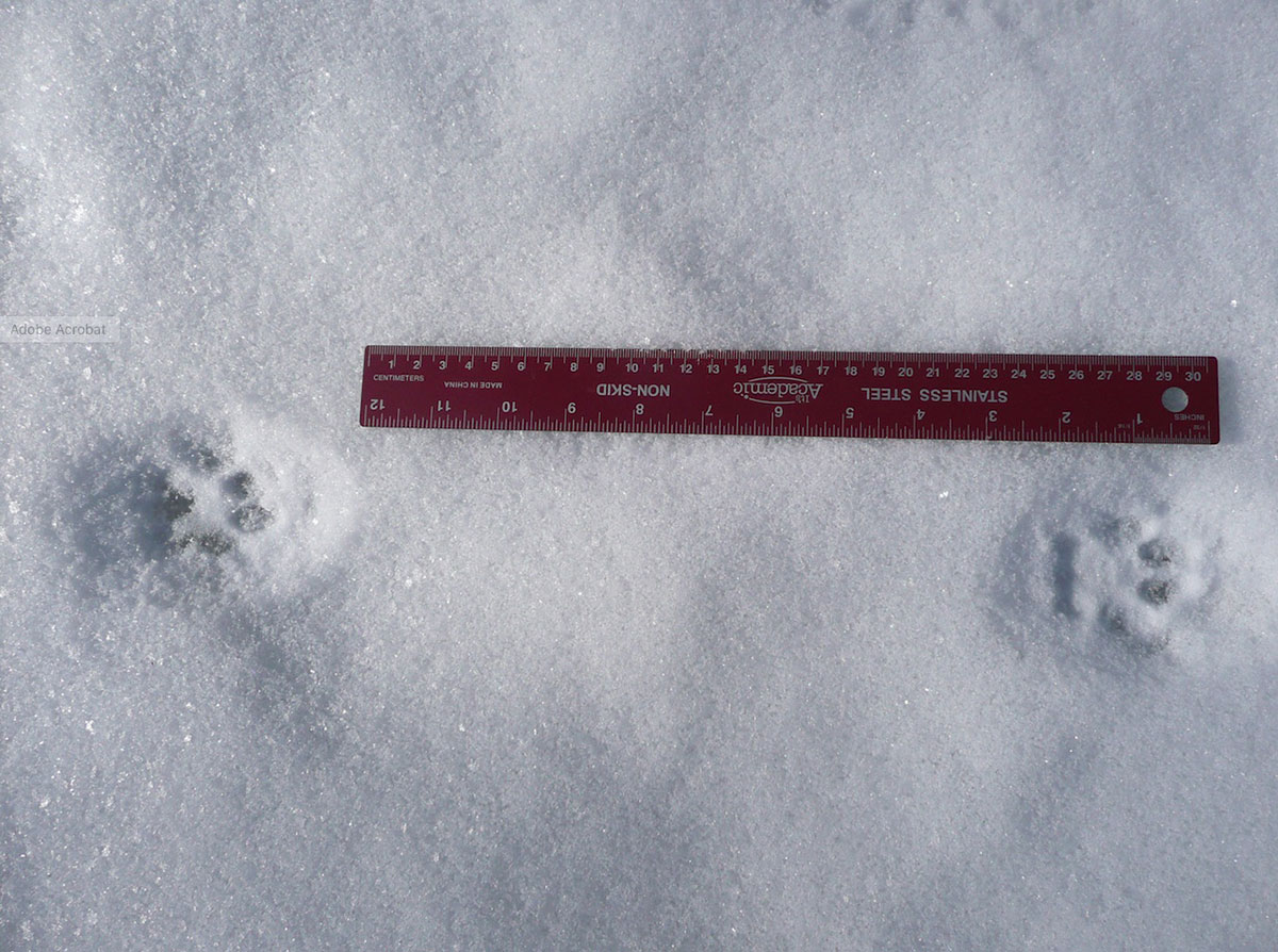 Bobcat tracks in the snow next to a ruler.