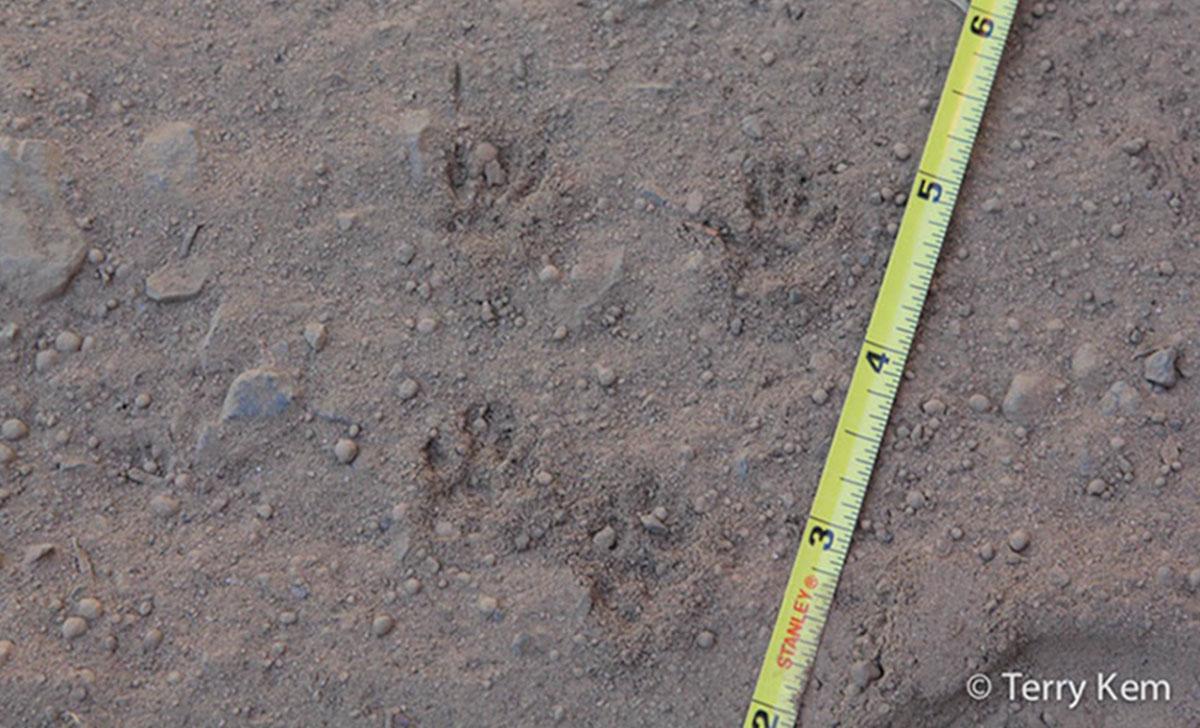 Chipmunk tracks in soil next to tape measure.