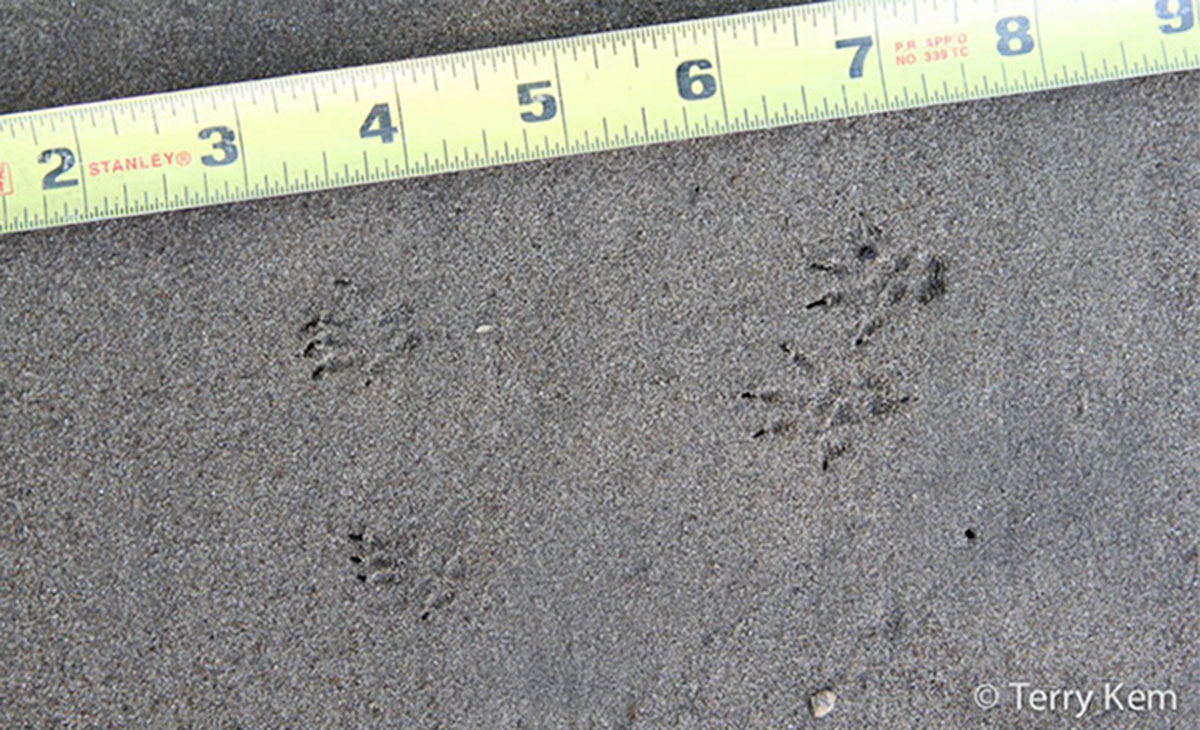 Front and back chipmunk tracks in sand next to tape measure.