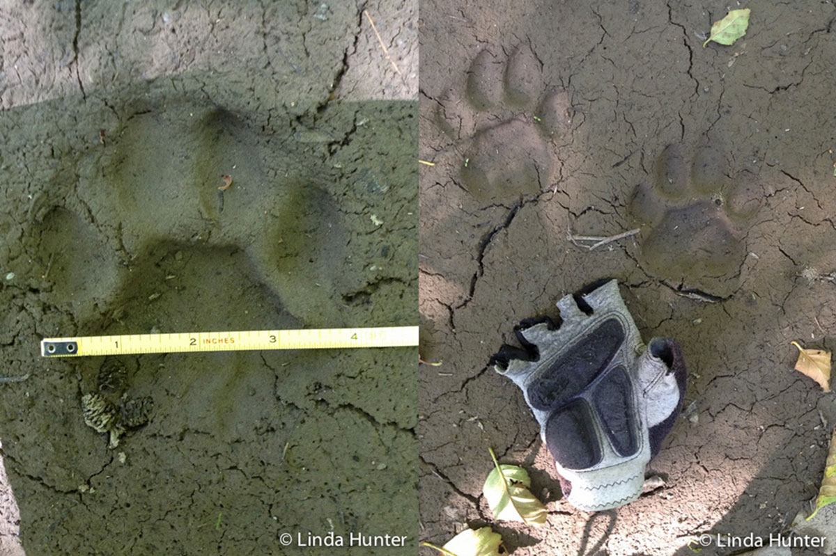 The cougar track on the left is about 4 inches wide. The two cougar tracks on the right are next to a woman's glove for scale.