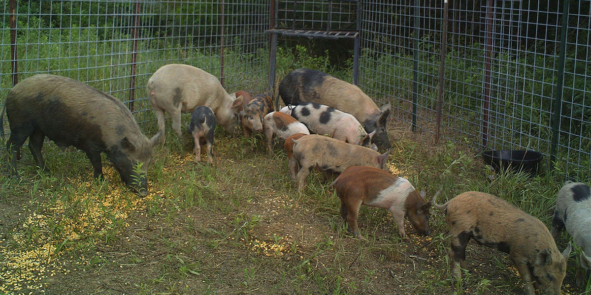 Three female feral hogs in a pen with 11 young feral swine. These feral swine show a range of coats colors, as some have light brown, pink, black or rusty colored patches.
