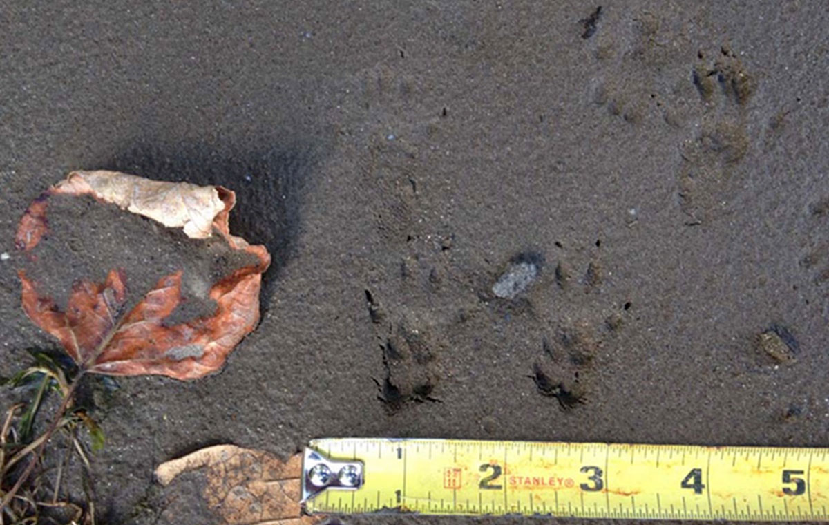 Gray squirrel tracks. Note how the front and hind tracks overlap.