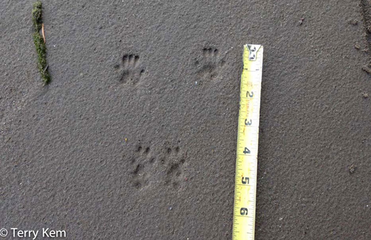 Set of gray squirrel tracks in sand next to a tape measure.