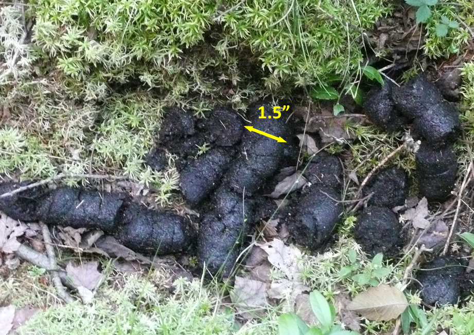 Photo of black bear scat.