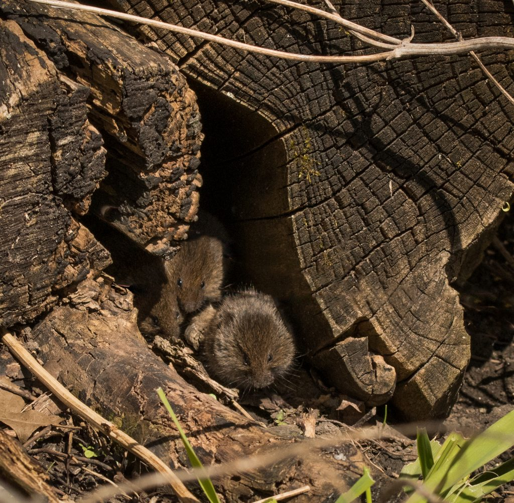 Young voles in a log.