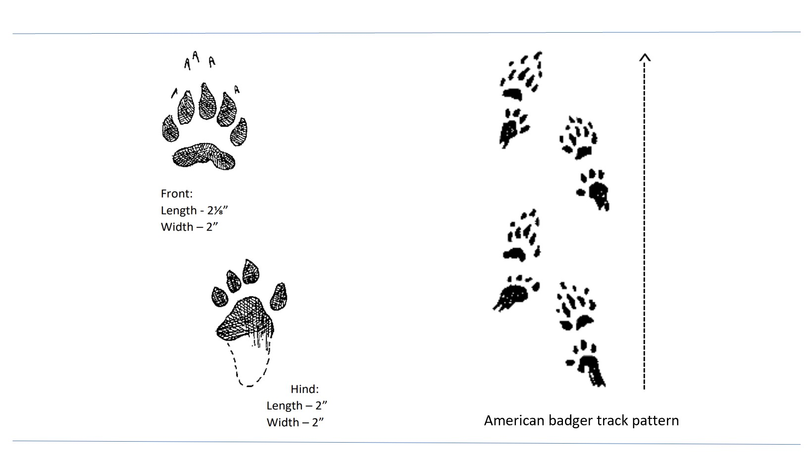 Illustrated tracks of the American badger.