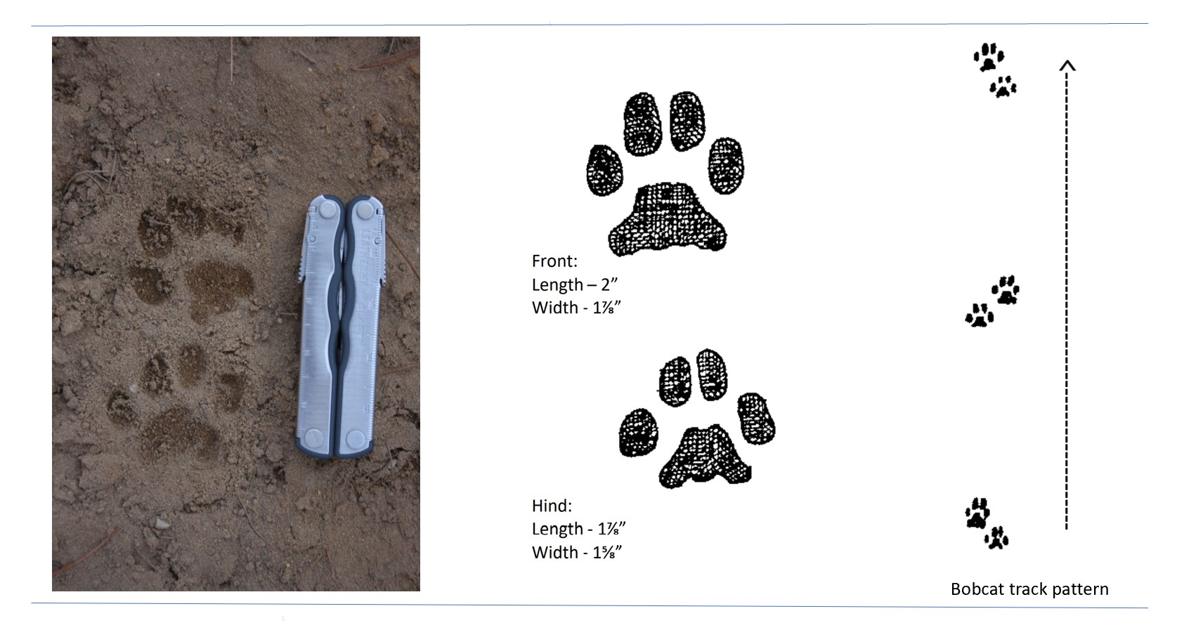 Photo and illustrated tracks of a bobcat.