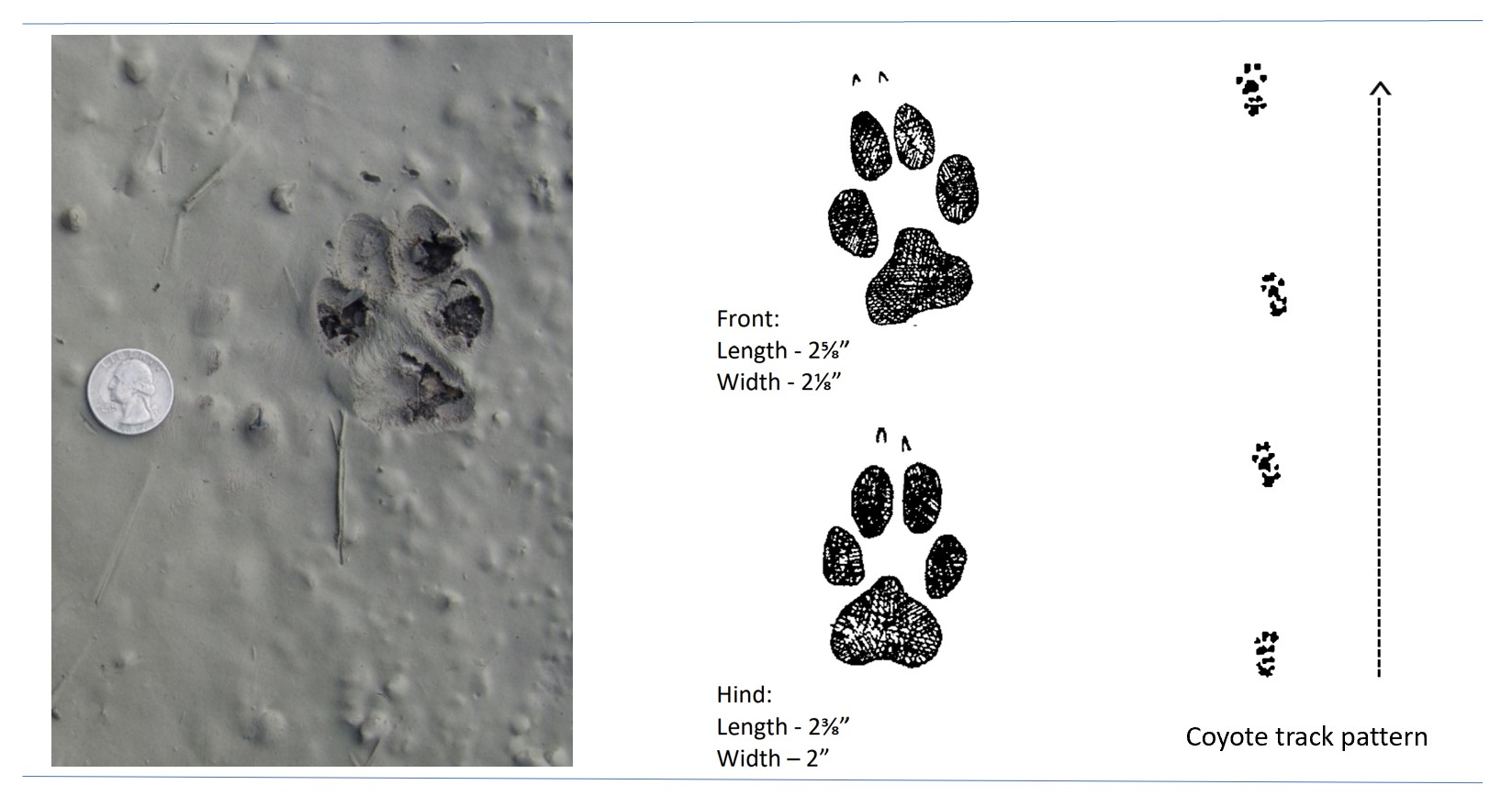 Photo and illustrated tracks of a coyote.