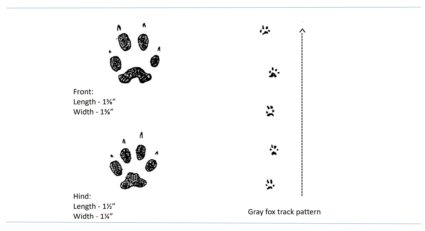 Illustrated tracks of a gray fox.