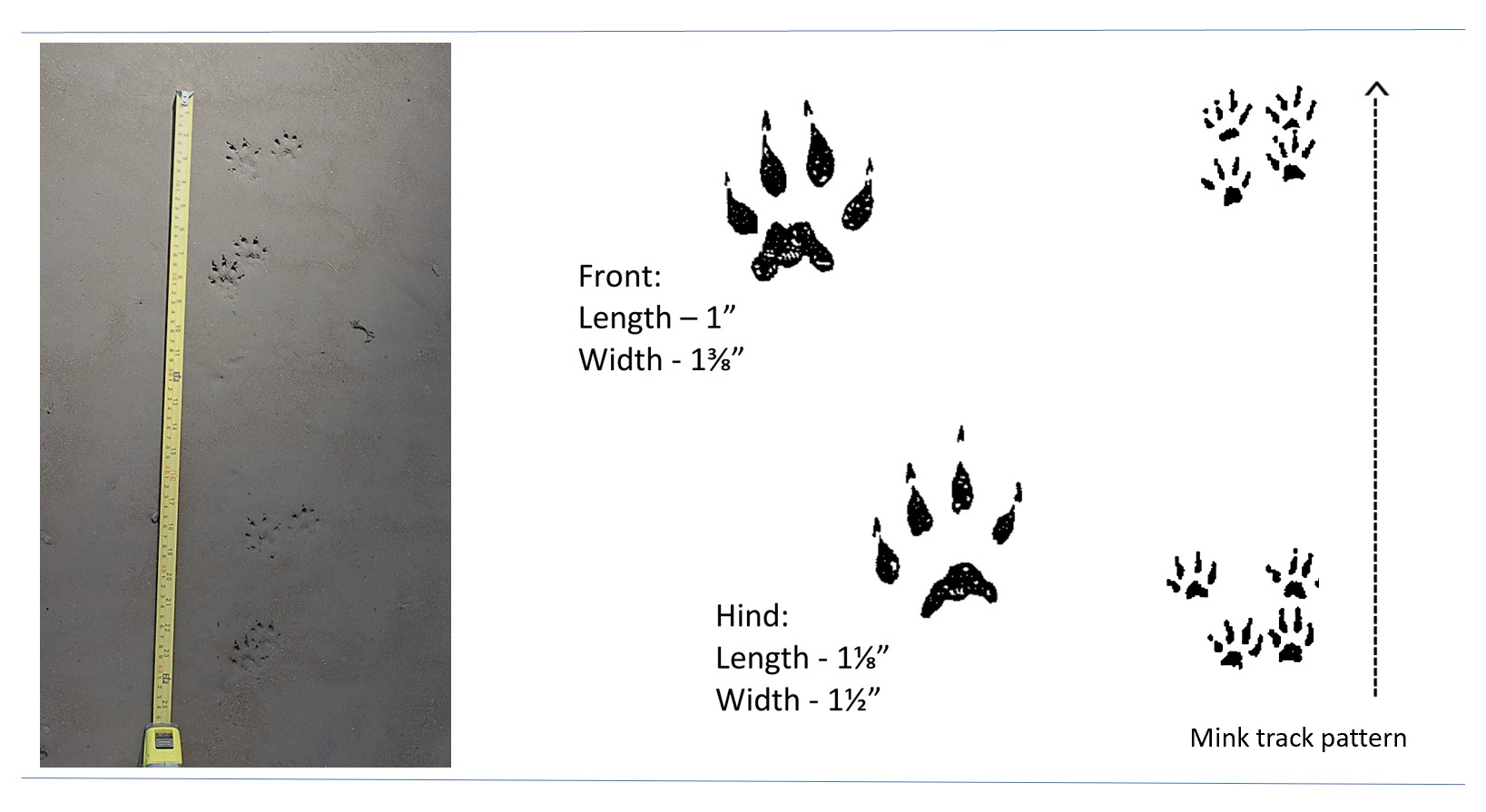 Photo and illustrated tracks of an American mink.
