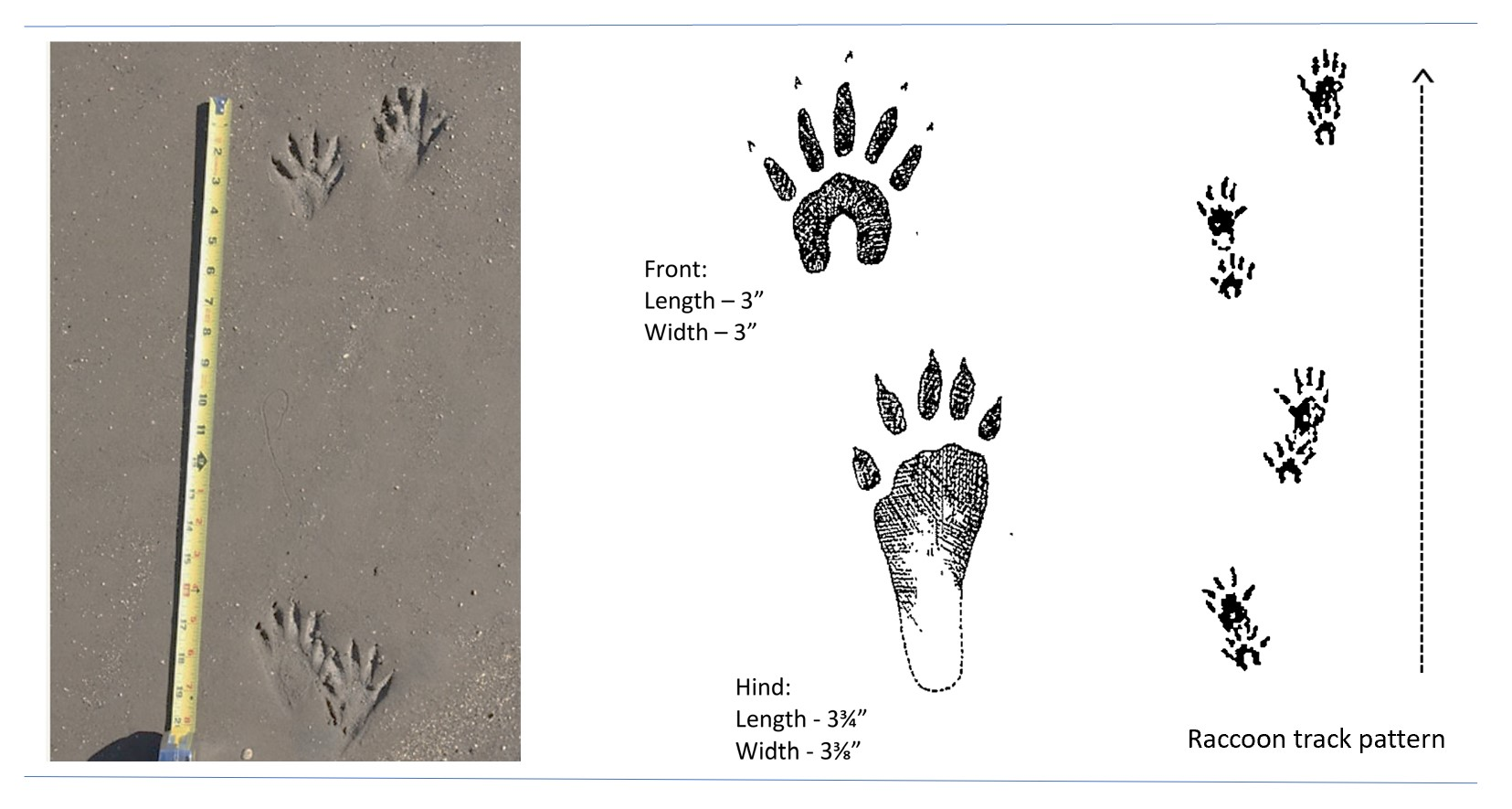 Photo and illustrated tracks of a raccoon.