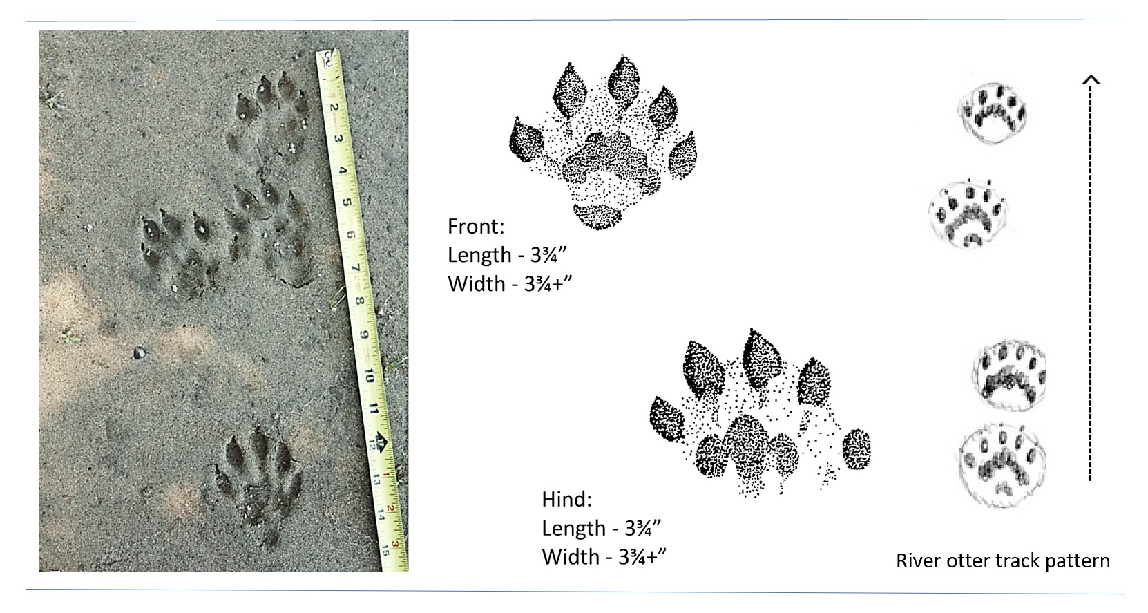 Photo and illustrated tracks of a river otter.