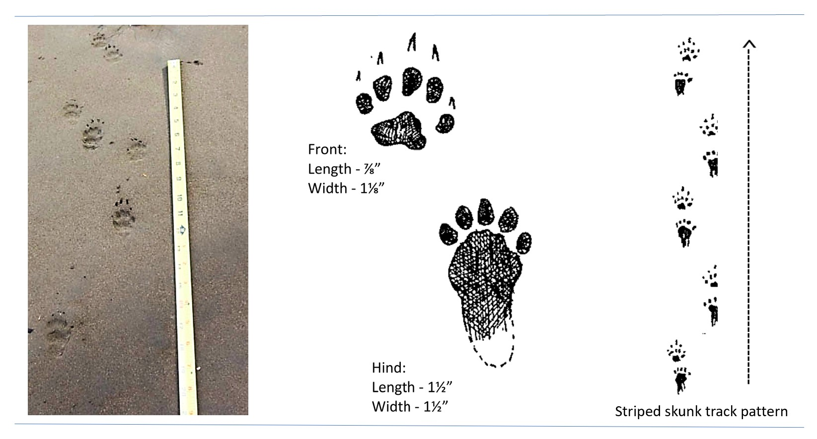 Photo and illustrated tracks of a striped skunk.