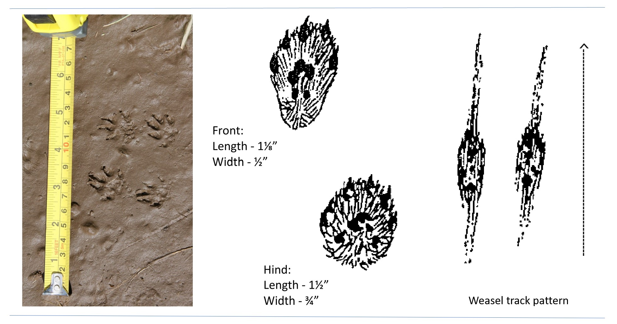 Photo and illustrations of weasel tracks.